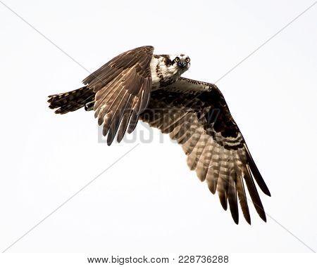 Osprey In Flight Against A White Overcast Sky Making Eye Contact