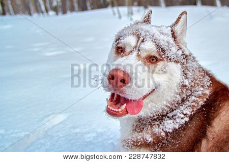 Merry Muzzle Dog In Snow. Funny Siberian Husky Dog With Stuck Out His Tongue Is Fun Playing In Winte