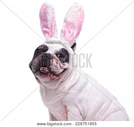 portrait of a happy french bulldog wearing easter bunny ears on white background