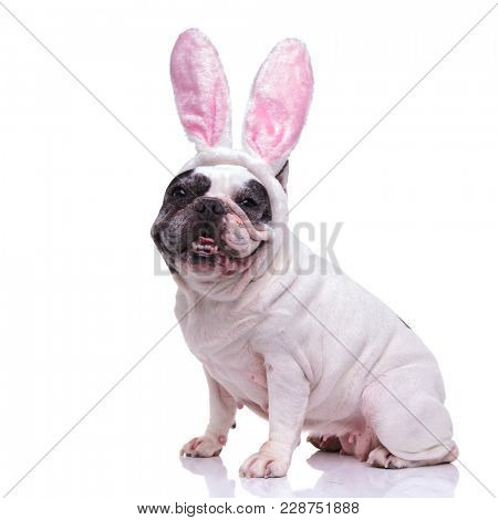 happy ester bunny french bulldog sitting on white background
