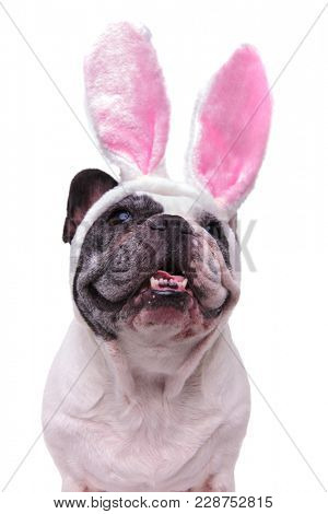 panting french bulldog wearing easter bunny ears looks up at something on white background