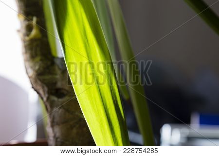 Palm Tree Into Office. Close Up Of A Leaf Palm.