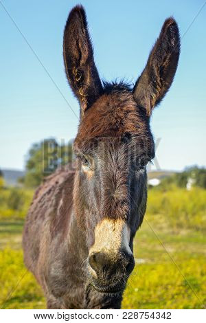 A Lovely Donkey  On The Pasture On A Sunny Day