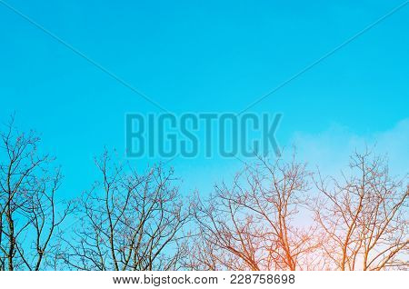 Bare Trees And Blue Sky Background. Picture Of Bare Trees In  Spring Or Winter. Ecological Disaster,