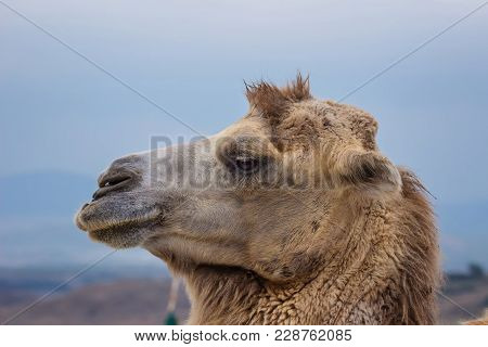 Portrait Of A One Humped Camel Ruminating