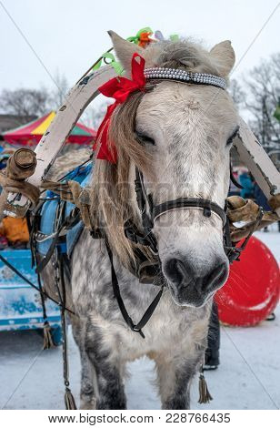 Horse's Head. Horse Gray Suit In Apples. The Horse Is Harnessed To The Sledge. The Mane Is Decorated