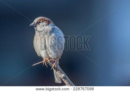 House Sparrow Male, Passer Domesticus, Passeridae, Sitting On The Branch And Watching On The Left Si