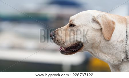 Yellow Labrador Retriever, Canis Lupus Familiaris, A Type Of Retriever-gun Dog Is One Of The Most Po