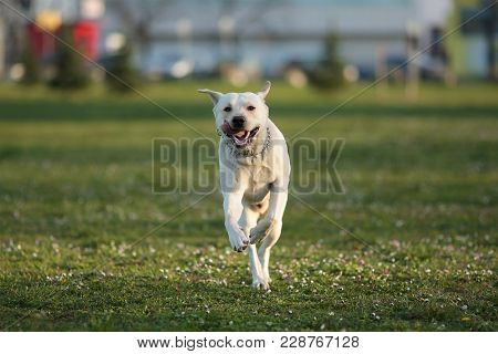 Yellow Labrador Retriever, Canis Lupus Familiaris, A Type Of Retriever-gun Dog, Running Towards Came