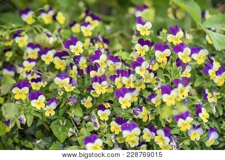 Colorful Yellow And Violet Garden Pansy Viola, Summer Or Spring Flowers On Lawn Or Meadow. Beautiful