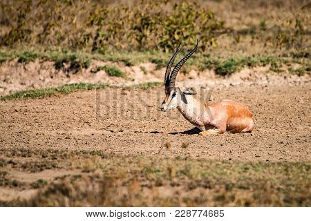 Grant's Gazelle Or Nanger Granti Rests On Ground