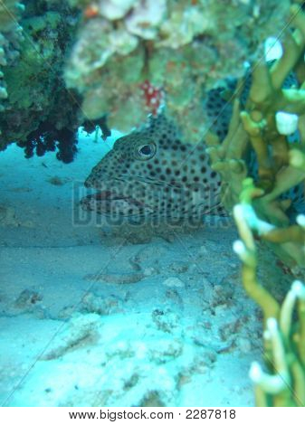 Grouper In Red Sea