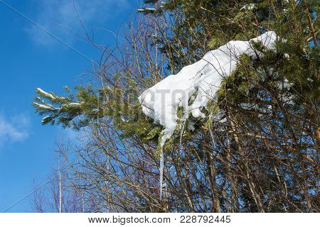 Pine Branch Covered With Snow With Icicles.