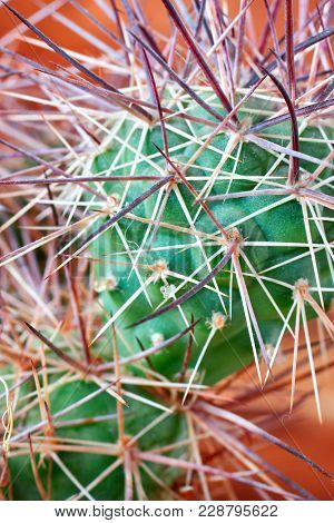 Cactus With Horrible, Thick Long And Sharp Thorns On Orange Background, Close-up. Vertical Photo.