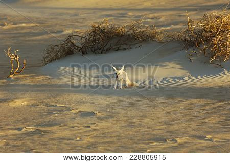 Desert Fox In Rub' Al Khali