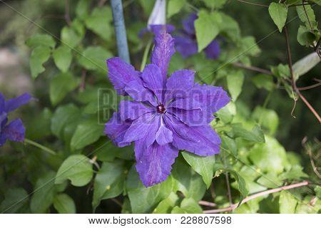 Violet Virgin's Bower.