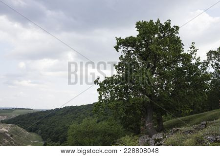 Mighty Oak With Marking. A View Of A Large Oak Tree That Is Located Above The River.