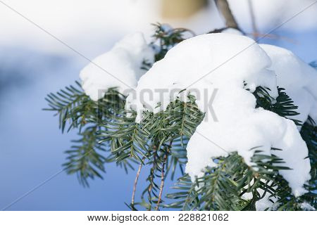 Bough Of Pine Tree With Snow. Bokeh, Bright Light Day In Winter