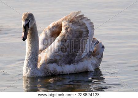 A Mute Swan Cygnus Olor Swims In The Lake