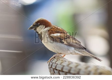 House Sparrow Male, Passer Domesticus, A Bird Of The Sparrow Family Passeridae, Sitting On The Backr