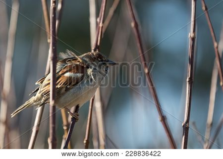 Domestic Sparrow Male, Passeridae, Passer Domesticus, Is Sitting On The Brown Branch Surrounded By B