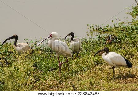 Spoonbill Of Africa And Sacred Ibis Along A Waterhole In Nairobi Kenya Park