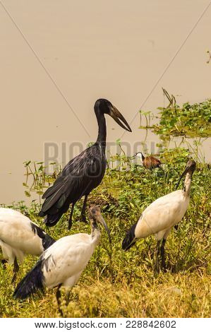 Abdim Stork And Sacred Ibis Along A Waterhole In Nairobi Kenya Park