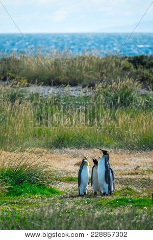 Group of King Penguins (Aptenodytes patagonicus) stands on the summer green island. Terra del Fuego, Chile