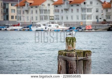 A Seagull Infront Of A Coastal City In Sweden. A Seagull In A Scandinavian City. Yachts Parked Near