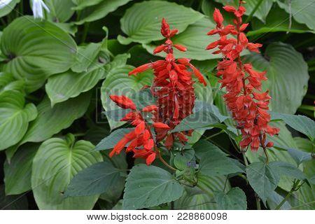 Salvia. Salvia Splendens. Flower Red. Heat-loving Plants. Annual Plant. Beautiful Flower. Close-up.