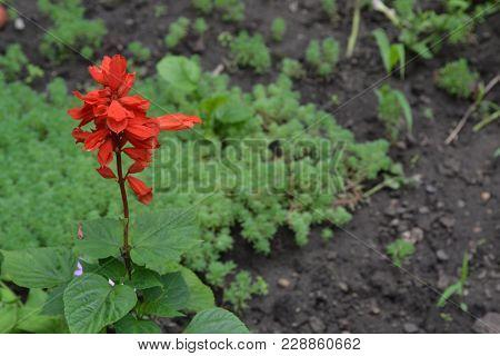 Salvia. Salvia Splendens. Flower Red. Heat-loving Plants. Annual Plant. Garden. Flowerbed. Growing F