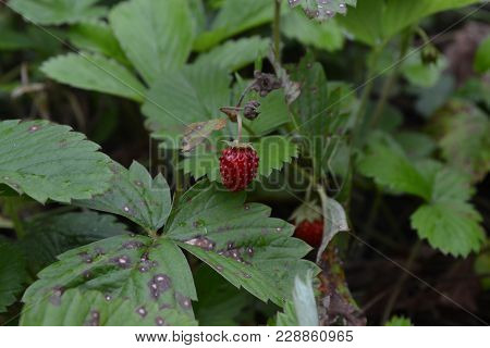 Strawberries. Fragaria Vesca. Bushes Of Strawberry. Red Juicy Berries. Fragrant Berries. Healing Ber