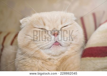 Close Up Satisfied Smiling Scottish Fold Cream Tabby Lop-eared Cat. Cute Funny Joyful Cat With Tongu