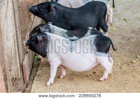 Herd Of Pigs At Pig Breeding Farm
