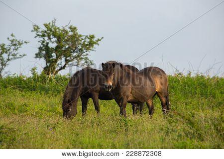 Quantock Hills Somerset England Uk Wild Ponies