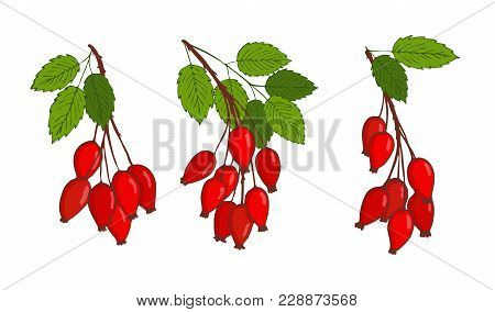 Set With Bunches Of Isolated Hip Rose Or Rosehip. Vector