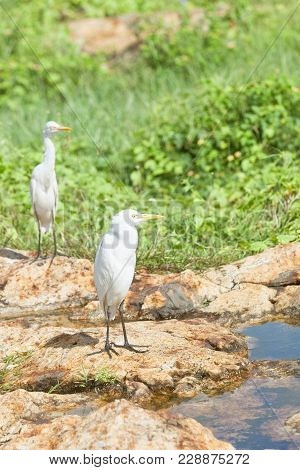 Galle, Sri Lanka, Asia - White Asian Egrets Having A Rest At A Small River In Galle