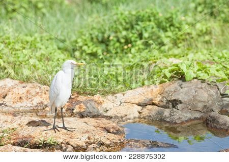 Galle, Sri Lanka, Asia - A White Asian Egret Taking A Rest At A Small River In Galle