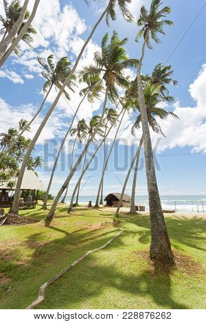 Koggala Beach, Sri Lanka, Asia - Huge Palm Trees On A Meadow At Koggala Beach