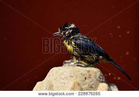 Bird On A Water Fountain And Totally Wet After Taking A Bath, Cyanistes Caeruleus