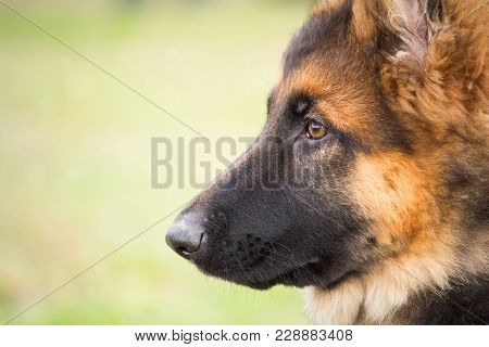 A Portrait Of A German Shepherd Puppy With A Mischievous And Attentive Look Listening To His Master