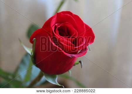 Beautiful red roses for the calendar. Red rose on white background. A bouquet of red roses. Roses on March 8. Buds pink roses. Flowers as a gift. Love and fillings