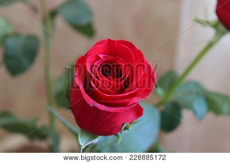Red rose. A bouquet of red roses. Roses on March 8. Beautiful red roses for the calendar. Buds pink roses. Flowers as a gift. Love and fillings