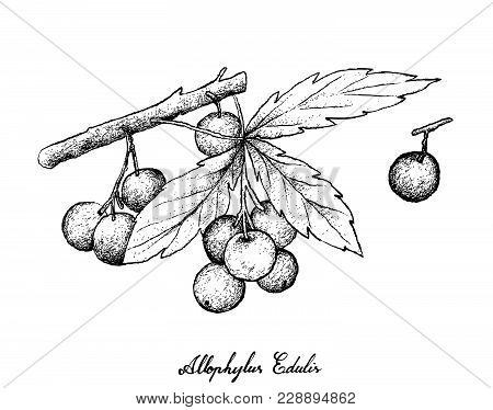 Berry Fruits, Illustration Of Hand Drawn Sketch Allophylus Edulis Or Chal-chal Fruits Hanging On The