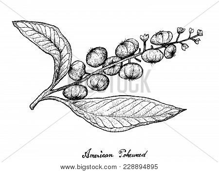 Berry Fruit, Illustration Hand Drawn Sketch Of Fresh American Pokeweed, Simply Pokeweed Or Phytolacc