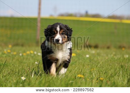 Tricolored Border Collie Puppy Is Standing In The Garden In Spring Flowers