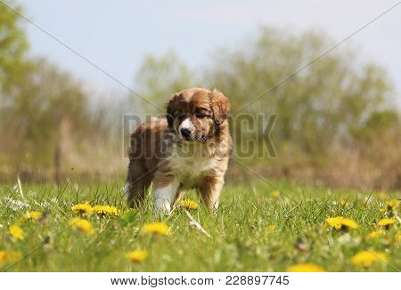 Brown Border Collie Puppy Is Standing In The Garden With Spring Flowers