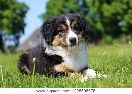 Tricolored Border Collie Puppy Portrait In The Garden