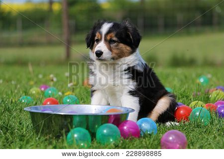 Tricolored Border Collie Puppy Is Sitting In The Garden With Colorful Balls