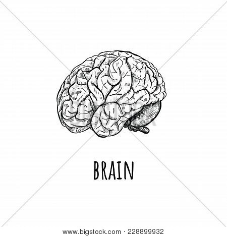 Brain Vector Illustration. Brain Side View With Soft Drawing Illustration On White Background. Sketc